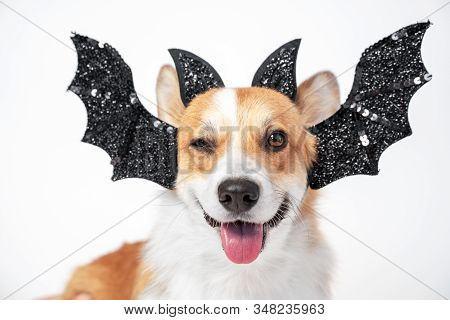 The Portrait Of Cool Ginger And White Welsh Corgi Pembroke Dog, Winking, Smiling And Wearing Black C