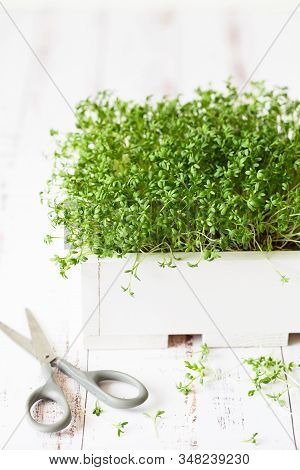 Fresh Greens. Growing Sprouts. Close-up Of Watercress Salad Microgreens In The Wooden Box. Sprouting