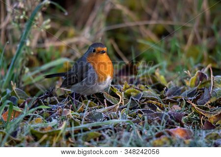 A Close Up Portrait Of A Robin Sitting On The Ground In The Grass In A Garden. A Great Post Or Greet
