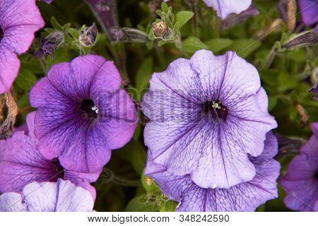 Colourful Petunia Petunia Hybrida Flowers Flowerbed With Multicoloured Petunias