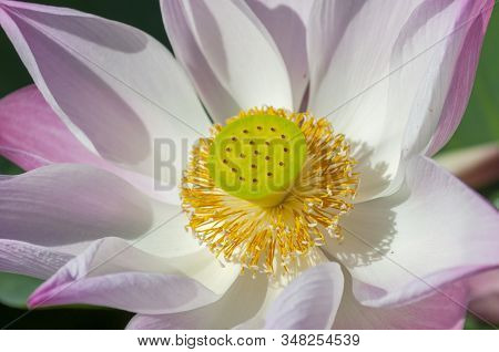 Nelumbo Nucifera, Also Known As Indian Lotus, Sacred Lotus, Bean Of India, Or Simply Lotus, Asia.