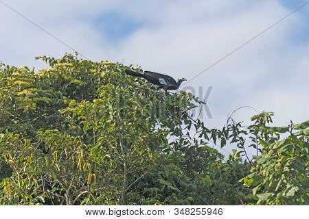 Common Piping Guan In The Pantanal Canopy In Pantanal National Park In Brazil