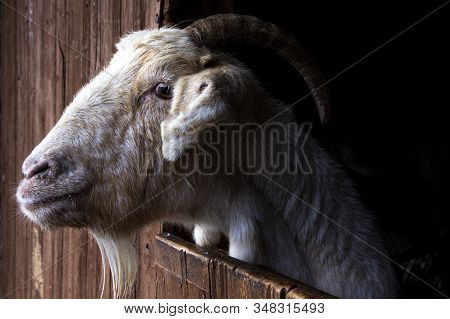 A Closeup Portrait Of A White Goat In A Stable