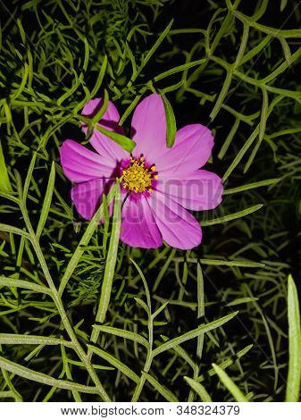 Close Up Pic Of The Cosmos Flower.with Night Blurr.