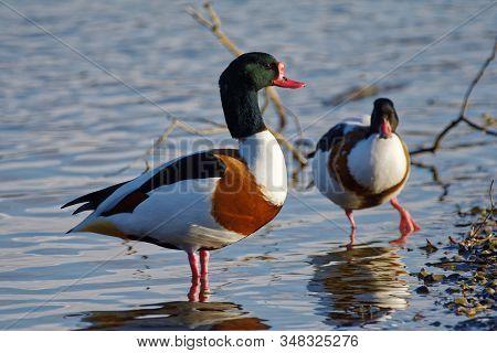 Common Shelduck - Tadorna Tadorna, Pair On Water