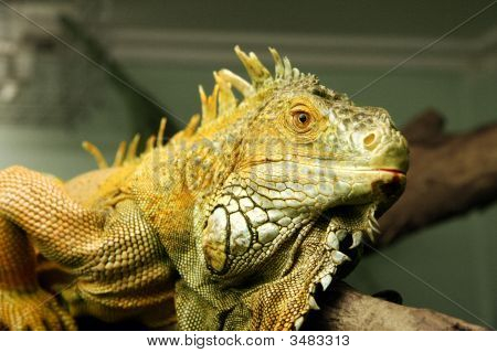 Large Green Iguana In Zoo
