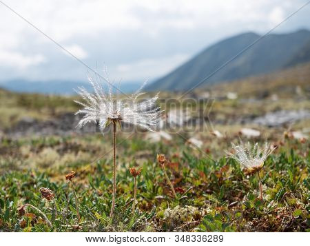 Wild Northern Flowers Close-up On The Background Of Mountains. Khibiny Mountains. Murmansk Region. T