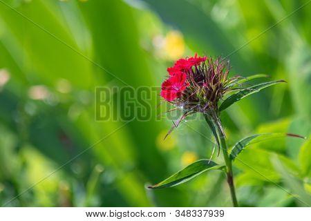 Single Red Phlox Flower Hidding In High Grass