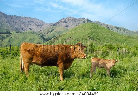 Parent and child of the brown cow on the green highland poster