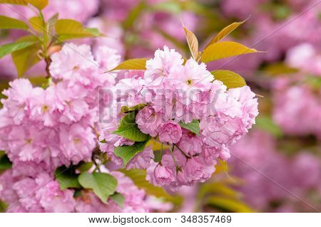 Sakura Blossom In The Garden. Beautiful Nature Scenery In Springtime