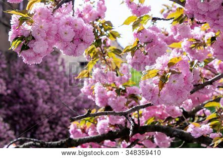 Pink Sakura Blossom On The Street. Beautiful Nature Scenery In Small Town. Sunny Springtime Weather.