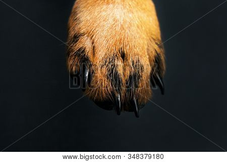 Paw. Dog's Paw. Skin Texture. Resting Dog's Paw Close Up. Paws Of A Big Dog On The Black Background.