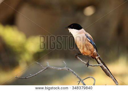 The Iberian Magpie (cyanopica Cooki) Siting On The Dry Small Branch With Brown Background. The Iberi