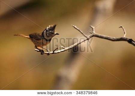 The European Crested Tit, Or Simply Crested Tit (lophophanes Cristatus) (formerly Parus Cristatus) S