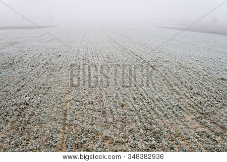 Small Wheat In The Field Covered With Frost