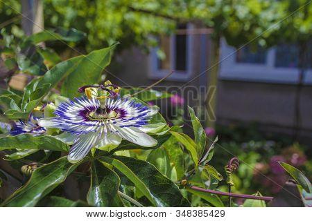 Blue Starshaped Crown Passion Flower Passiflora Caerulea Against Green Garden Background. Fruit Blos