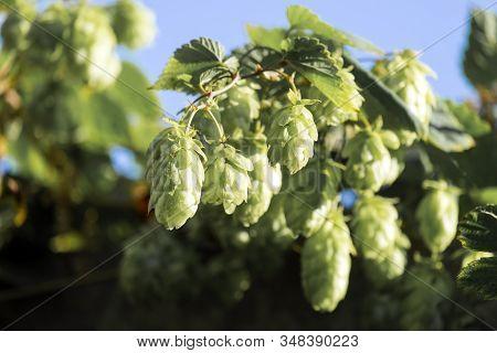 Sprig Of Hop With Cones (humulus Lupulus)