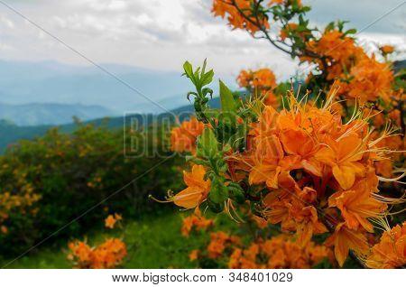 A Close Up Shot Of Bright Orange Flame Azalea In The Roan Mountain Highlands
