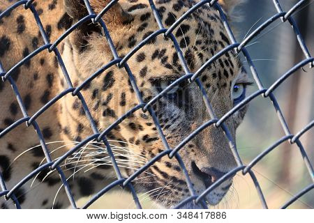 Close Up Leopard In Cage , Leopard Eyes ,male Leopard, Portrait Of Leopard, Snow Leopard