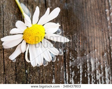 White Daisy Flower On Rustic Weathered Wooden Table. Fresh Camomile Flowers From The Garden. Country