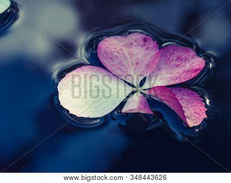 Pink Hydrangea Flower On The Dark Water Surface. Cold Season Nature Background.