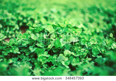 Alfalfa Seeded Field. Green Grassy Background From Medicinal Alfalfa. Template For Design. Copy Spac