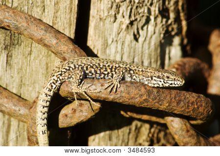 Basking Lizard On A Chain