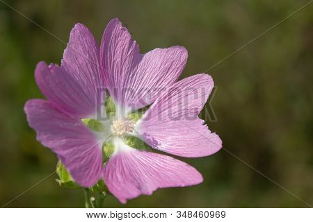 Mallow Musk Blooming. Flower Malva Alcea, Greater Musk-mallow, Cut-leaved, Vervain Or Hollyhock Mall
