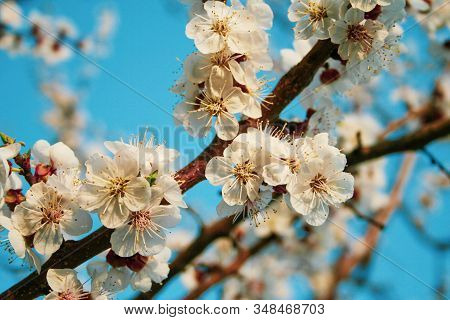 Apple Blossom Flowers In Spring, Blooming On Young Tree Branch. Close Up Apple Blossom White Flowers