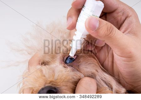 Closeup On Finger Applying Eye Drop Onto Dog Eye With Cataract Problem