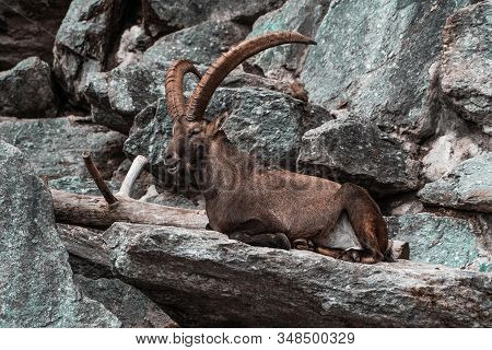 Capricorn On A Rock Image, Natural Wildlife Photography