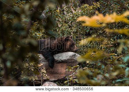 Sleeping Bear Resting On A Rock