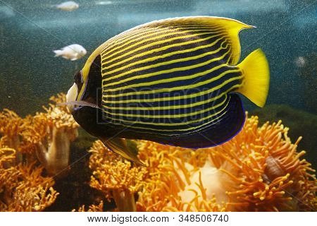 Beautiful Emperor Angelfish (pomacanthus Imperator) Among The Underwater Coral Reef