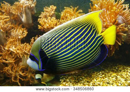 Emperor Angelfish (pomacanthus Imperator) Against The Background Of A Coral Reef