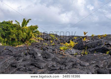 Kaimu Beach, Hawaii, Usa. - January 14, 2020: Green Bush On Top Of Hardened Black Lava Field Off Kil