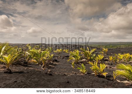 Kaimu Beach, Hawaii, Usa. - January 14, 2020: Field Of Young Palm Trees On Top Of Hardened Black Lav