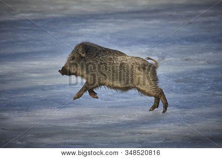 Wild Boar (sus Scrofa Ferus) Running On Snow In Forest.