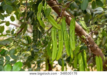 Algaroba Or The Carob, A Leguminous Tree Of The Mediterranean Region. Closeup On Green Beans On A Tr