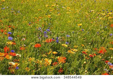 English Summer Flowers.  A Colourful Field Of Wild Flowers, Including Cornflowers, Daisies And Butte