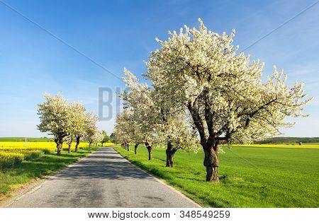 Alley Of Flowering Cherry Trees White Colored In Latin Prunus Cerasus Cherry-trees With Road And Bea
