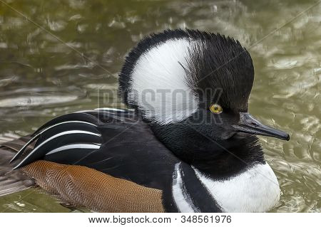 Duck. Hooded Merganser. North American Smaller Duck.hooded Mergansers Are The Second Smallest Specie