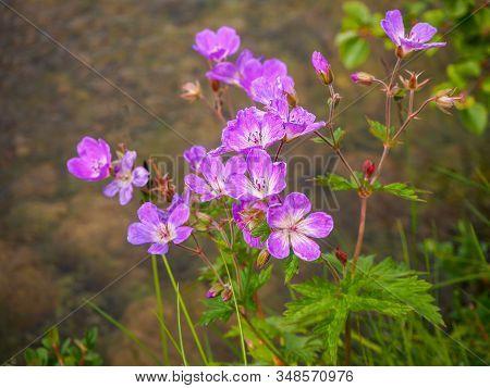 Wild Woodland Cranesbill Geranium, Geranium Sylvaticum, With Pretty Pink Flowers