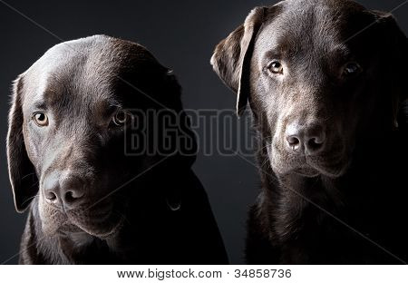 Low Key Shot of Two handsome chocolate labradors poster