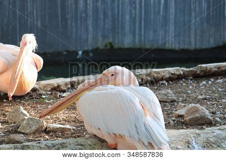 Great White Or Eastern White Pelican, Rosy Pelican Or White Pelican Is A Bird In The Pelican Family,