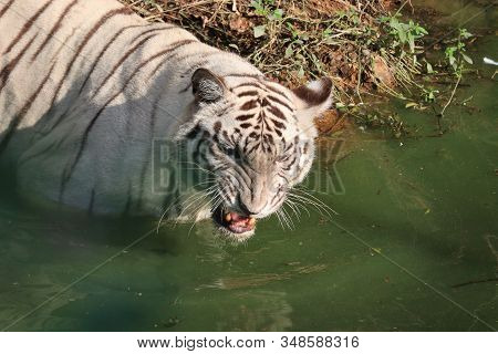 White Bengal Tiger Roaring Jangle Safari 2020, Tiger Safari In Sunday, Angry Tiger Photo, Sad Tiger,