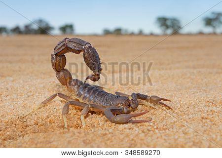 Granulated thick-tailed scorpion (Parabuthus granulatus), Kalahari desert, South Africa