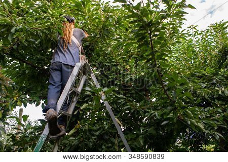 Seasonal Farm Worker At Cherry Harvest. Cherry-picker Stands On The Ladder And Works. Picking Raw Ch