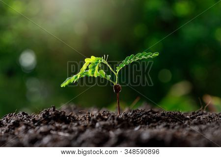 Close Up Young Plant (tamarind Tree) Growing In Fertile Soil.