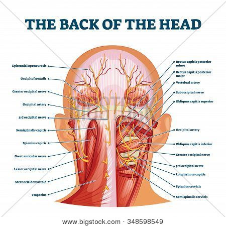 Back Of The Head Muscle Structure And Nerve System Diagram, Vector Illustration Labeled Medical Heal