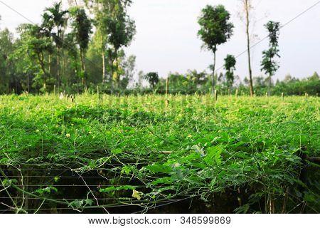 Bitter Gourd Field And Sky. Green Bitter Gourd Field